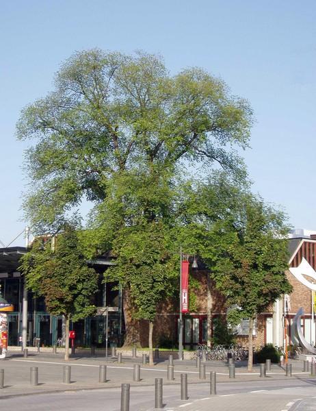 Iep aan de Bibliotheek, Martelarenlaan (foto: Erfgoedcel Hasselt, 2008)